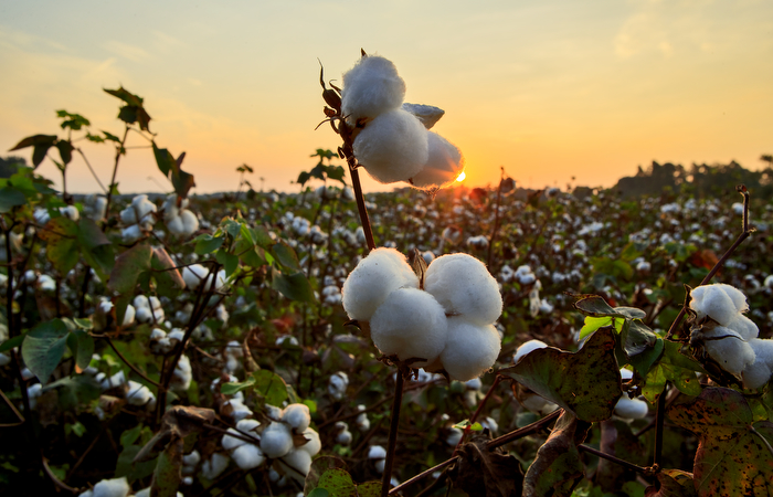 Fertile cotton fields, Orangeburg County